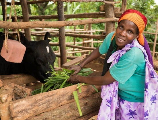 How cows are helping the world's poorest
